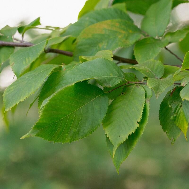 Ostrya virginiana - Ironwood