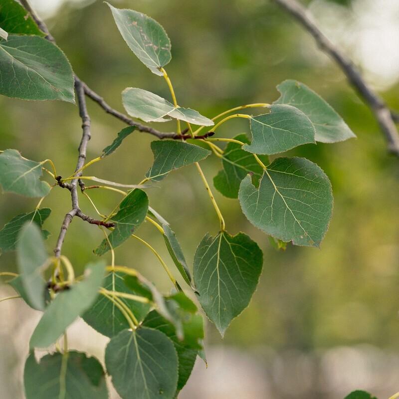 Populus tremuloides - Trembling Aspen