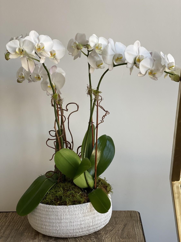 4 Stem White Orchid