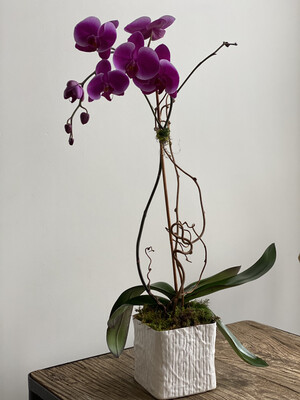 Single Stem Colored Orchid