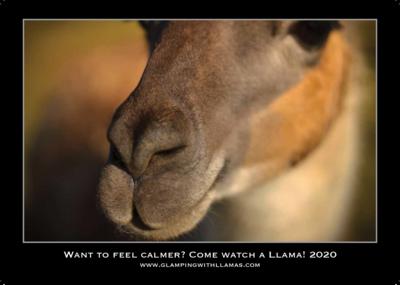 2020 Calendar of the Faster Lente Llamas herd