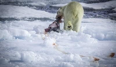 挪威北極熊 / Polar bear Svalbard
