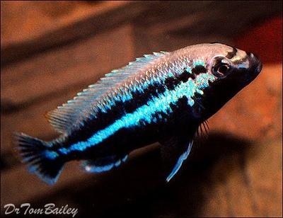 Premium MALE Malawi Melanochromis Auratus Mbuna Cichlid