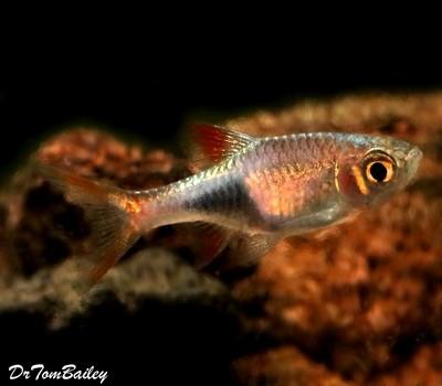 Premium Lambchop Rasbora, Nano Fish