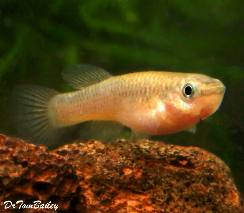 Premium FEMALE Gardneri Killifish