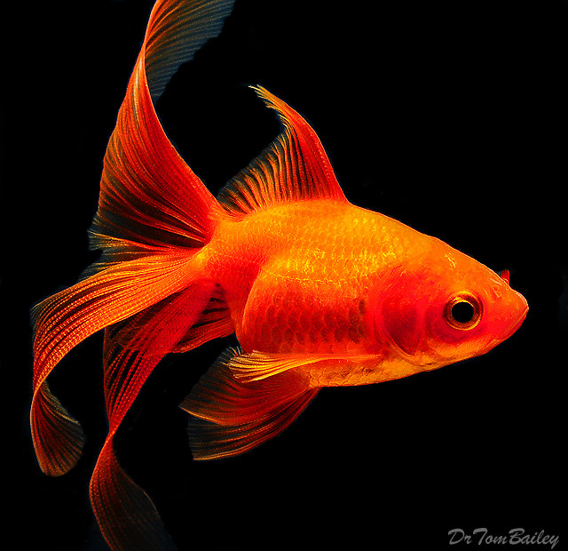 Premium Red Fantail Goldfish
