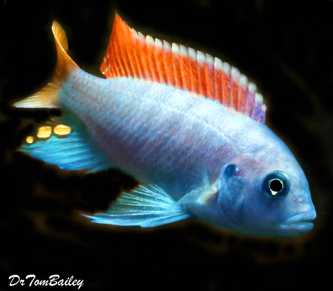 Premium Red Top Zebra Mbuna from Lake Malawi in Africa
