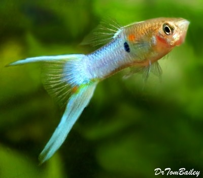 Premium MALE Royal Blue Lyretail Fancy Guppy