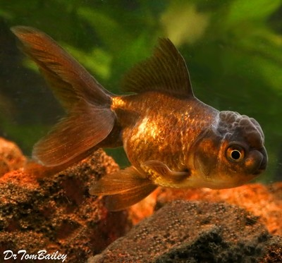 Premium Chocolate Oranda Goldfish