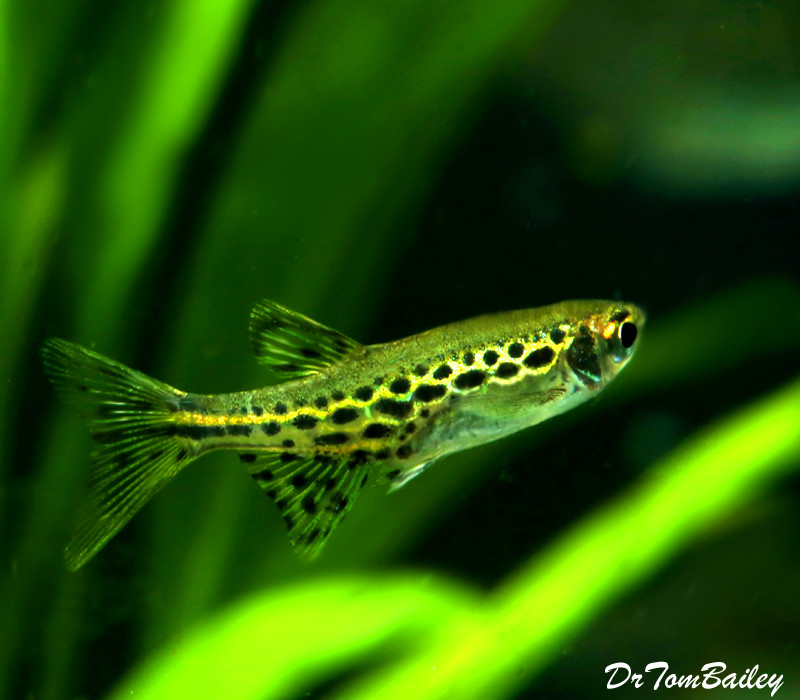 Premium New and Rare, Gold Ring Danio, Nano Fish