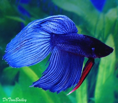 Premium MALE Blue Betta Fish