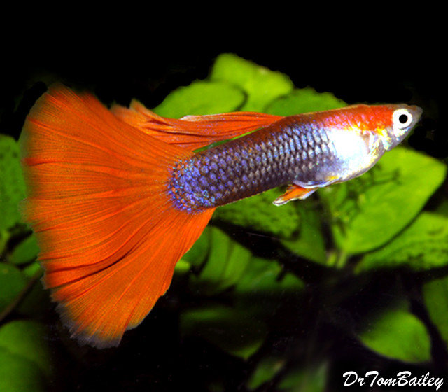 Premium MALE Red Tuxedo Fancy Guppy