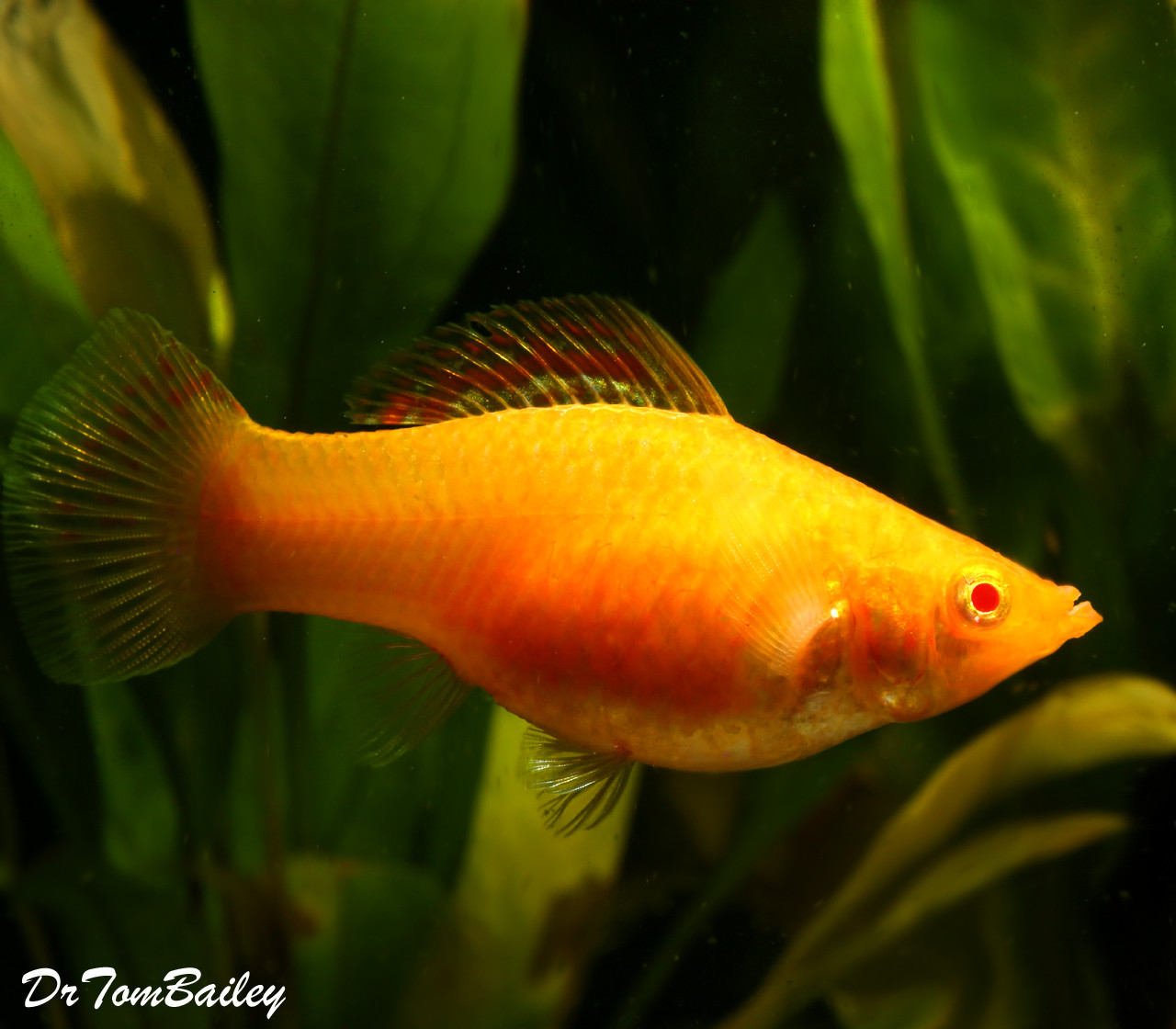 Premium FEMALE, Rare and New, Sunset Sailfin Molly