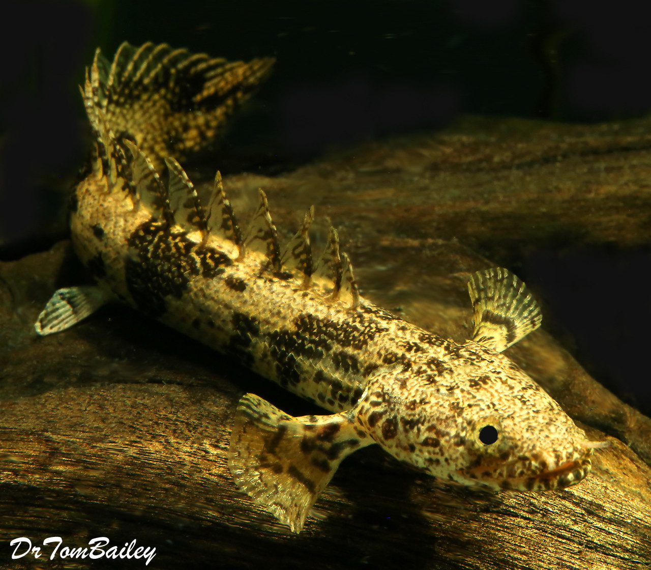 Premium Rare Saddled Bichir, Polypterus endlicheri