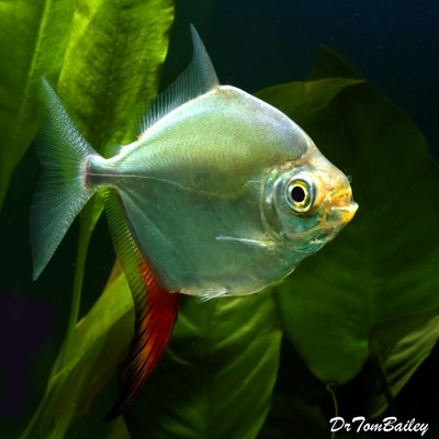 Premium Red Hook Silver Dollar Fish, Myloplus Rubripinnis