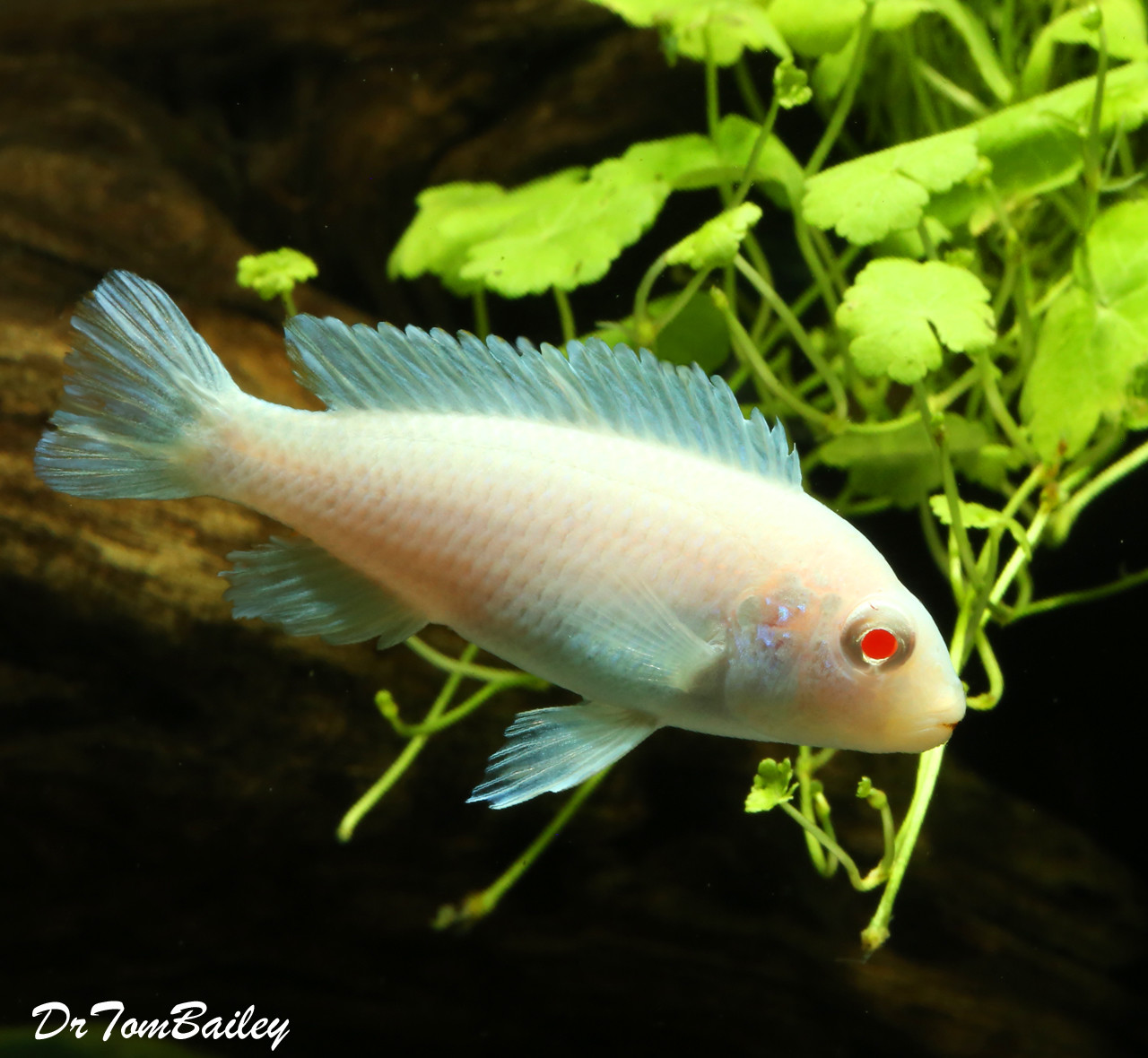 Premium Snow White Socolofi Mbuna Cichlid from Lake Malawi