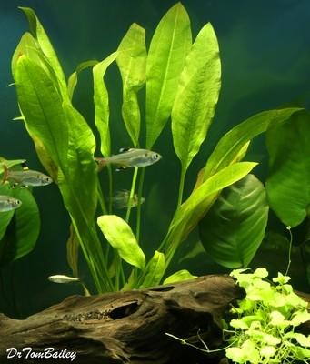 Premium Sword Plant Potted Plant