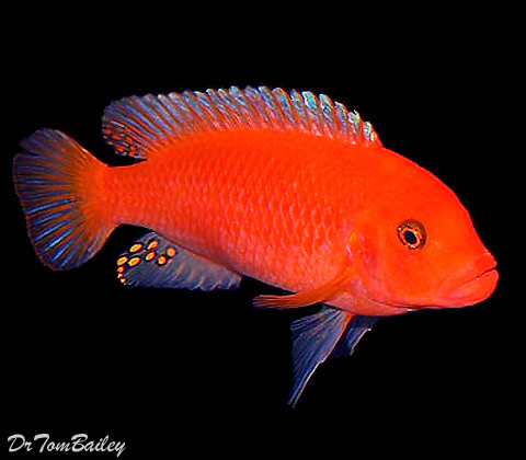 Premium Red Zebra Mbuna Cichlid from Lake Malawi in Africa