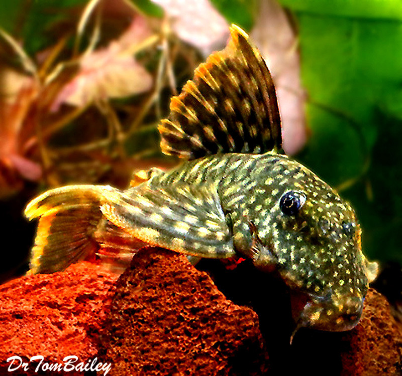 Premium New and Rare, WILD, Orange Seam Pleco, L106