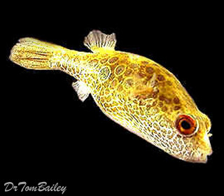 Premium Ocellated Pufferfish