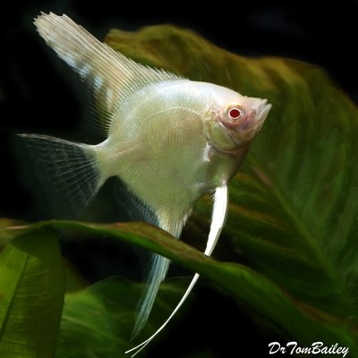 Premium Albino Angelfish