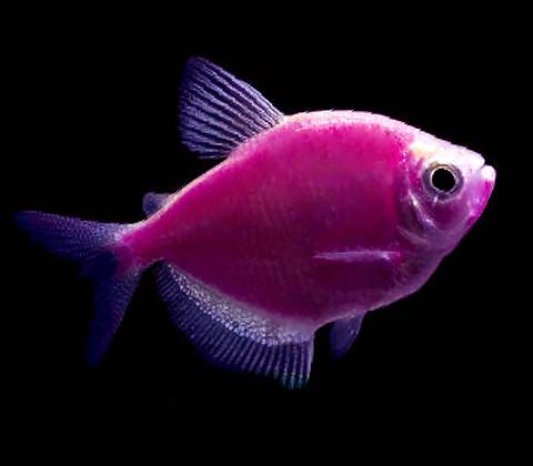 Premium Galactic Very-Purple GloFish Tetra