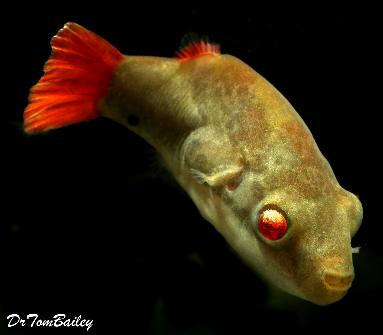 Premium MALE Freshwater Redtail Red-Eye Dwarf Pufferfish