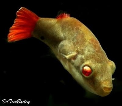 Premium MALE Freshwater Redtail Red-Eye Dwarf Pufferfish