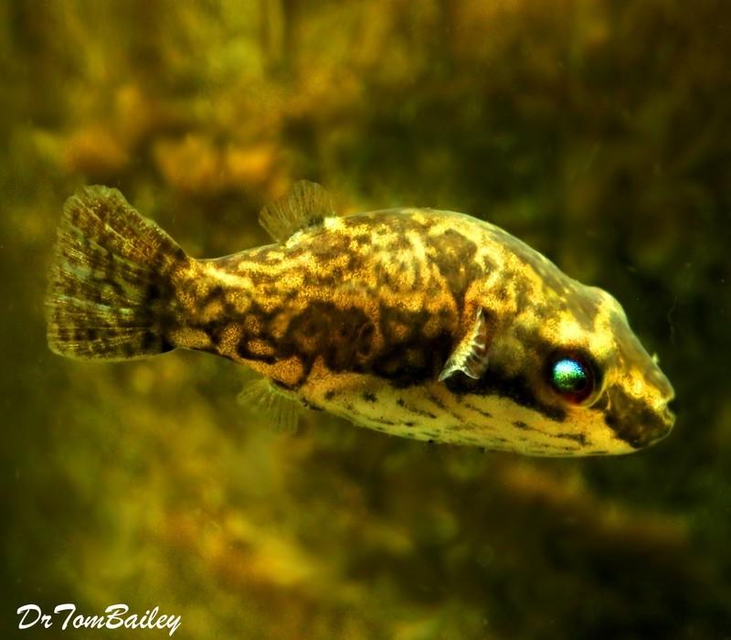Premium FEMALE Freshwater Redtail Red-Eye Dwarf Pufferfish