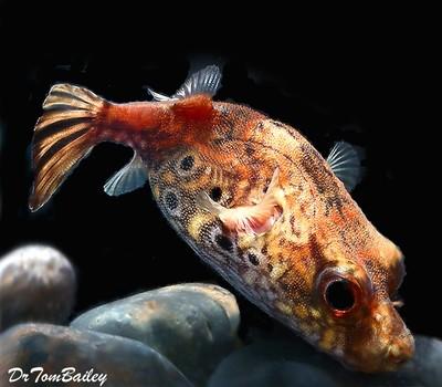Premium Rare Freshwater Dragon Pufferfish