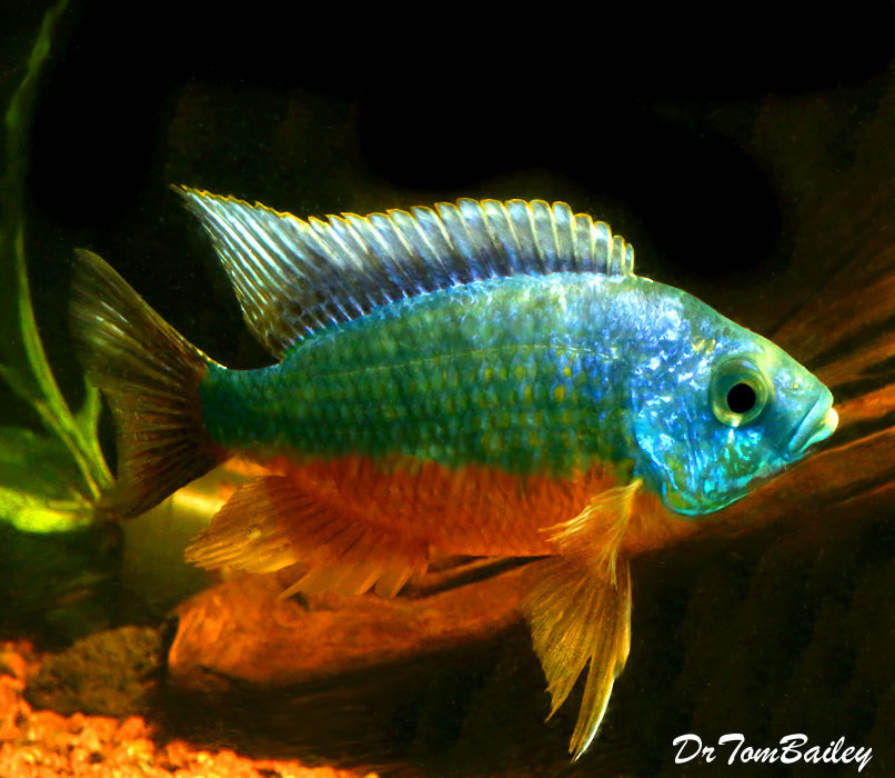 Premium Rare New, Spilonotus Tanzania from Lake Malawi