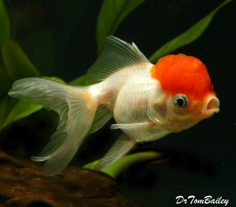Premium Red Cap Oranda Goldfish