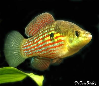 Premium MALE Flagfish in Color