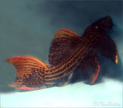 Premium WYSIWYG WILD, Very Rare Scarlet Plecostomus, L025, in our Tank T-11