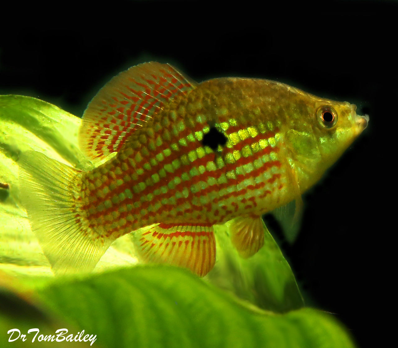 Premium Flagfish