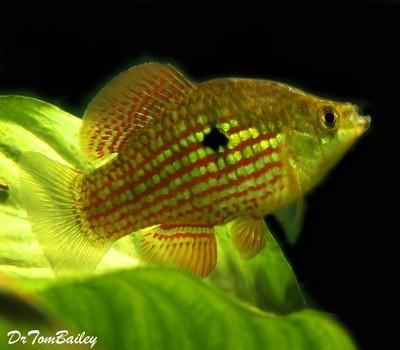 Premium Flagfish