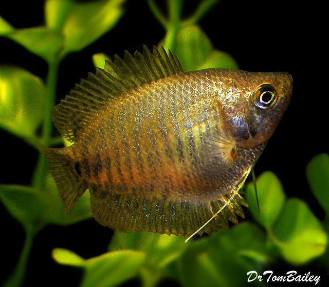 Premium FEMALE Young Dwarf Gourami