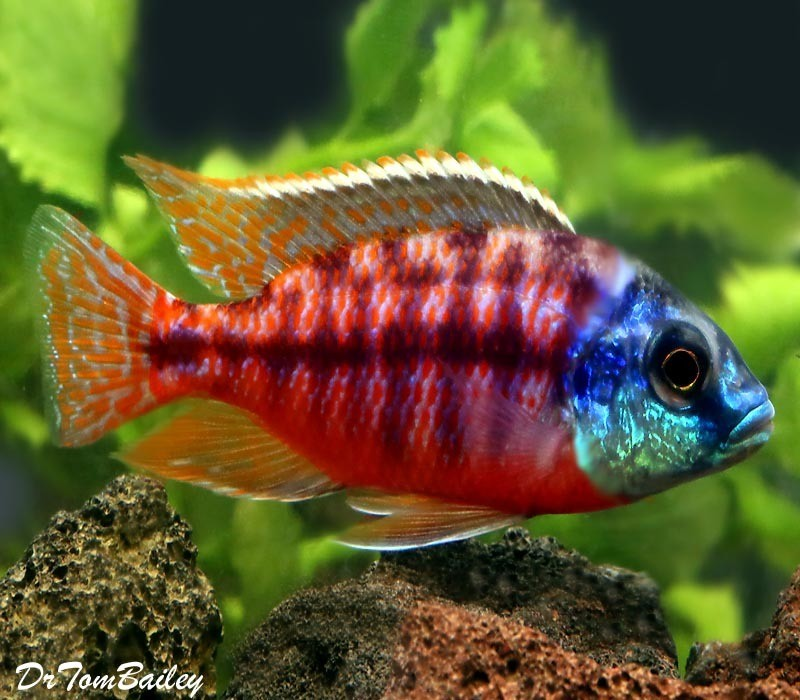 Premium Red Empress Hap Cichlid from Lake Malawi