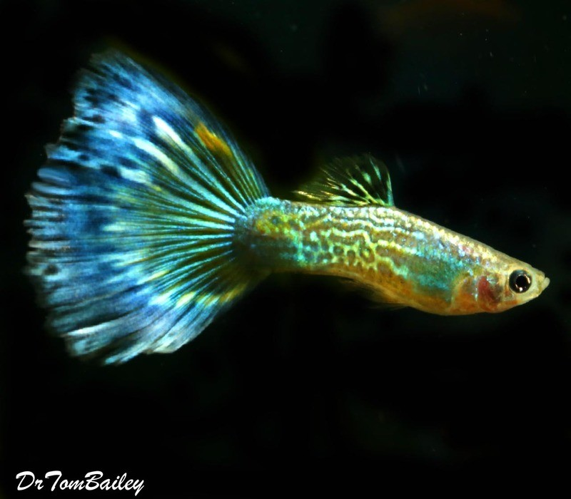 Premium MALE Blue Cobra Fancy Guppy