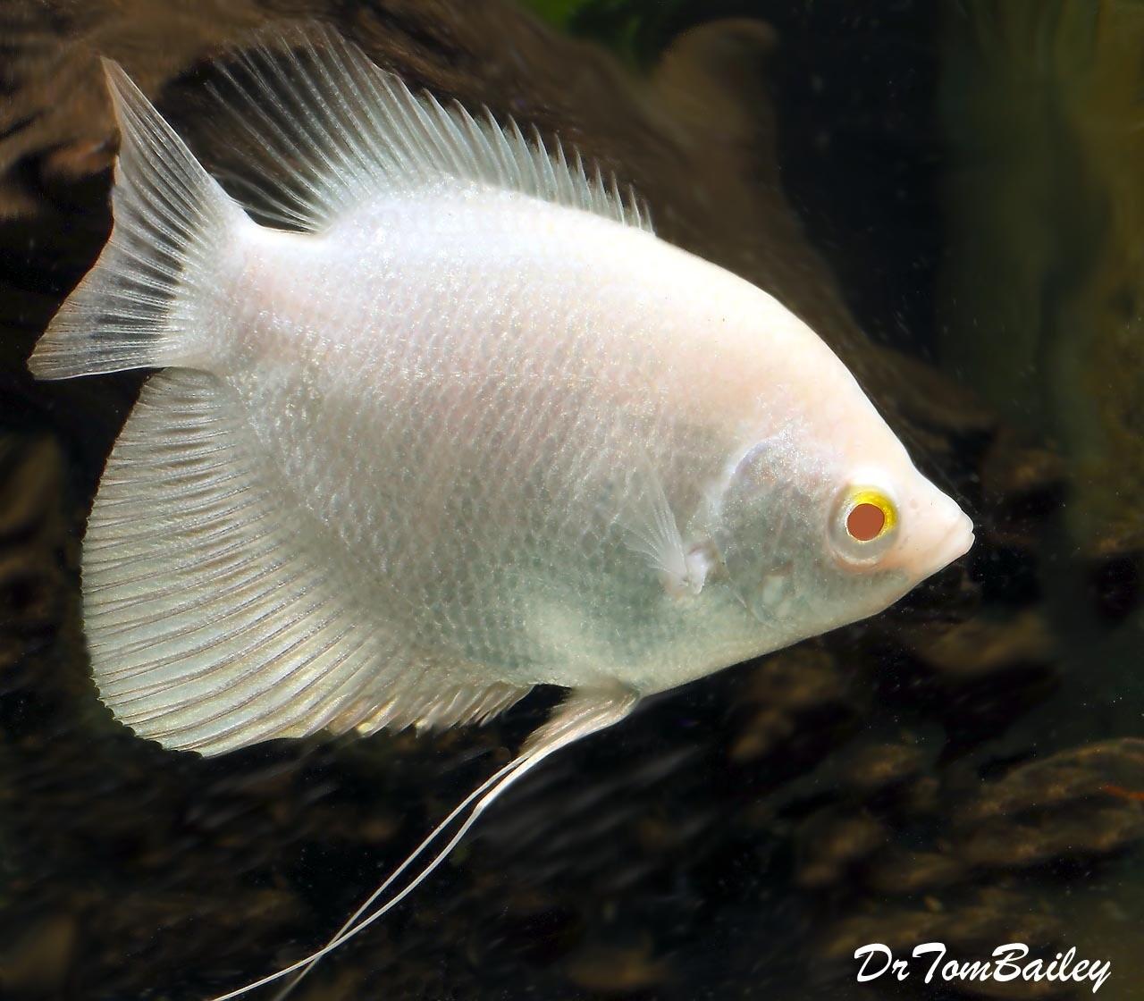 Premium Rare New, WYSIWYG, Albino Giant Osphronemus Goramy