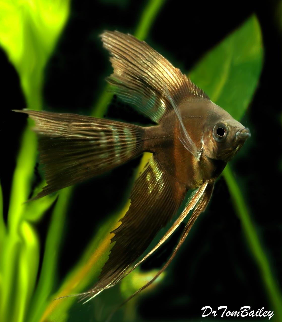 Premium Rare WYSIWYG, Hybrid, Black Veiltail Angelfish X Half-Black Veiltail Angelfish