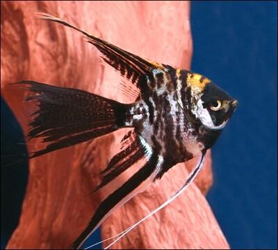 Premium Marbled Veiltail Angelfish