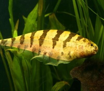 Premium Rare WILD, Barred Knifefish, Steatogenys elegans