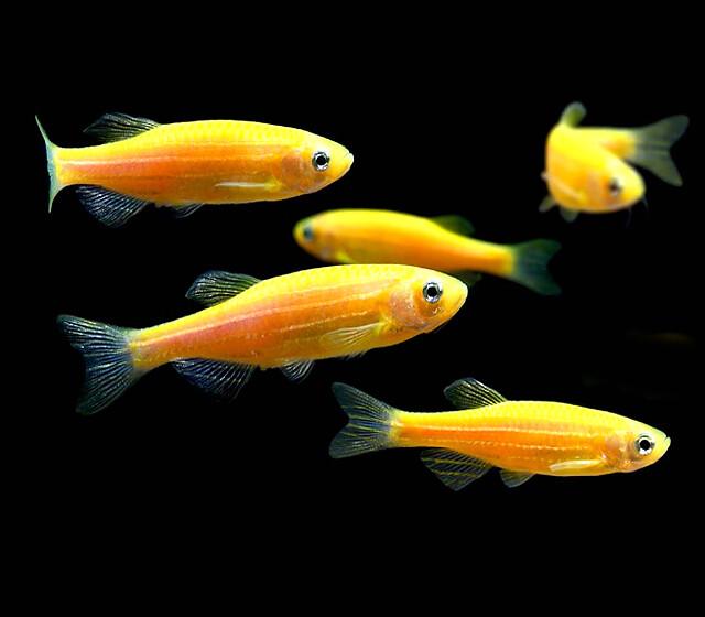 Premium Sunburst Orange GloFish Danio