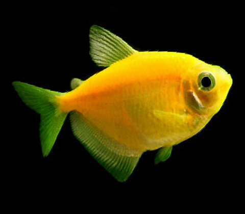 Premium Sunburst Orange GloFish Tetra