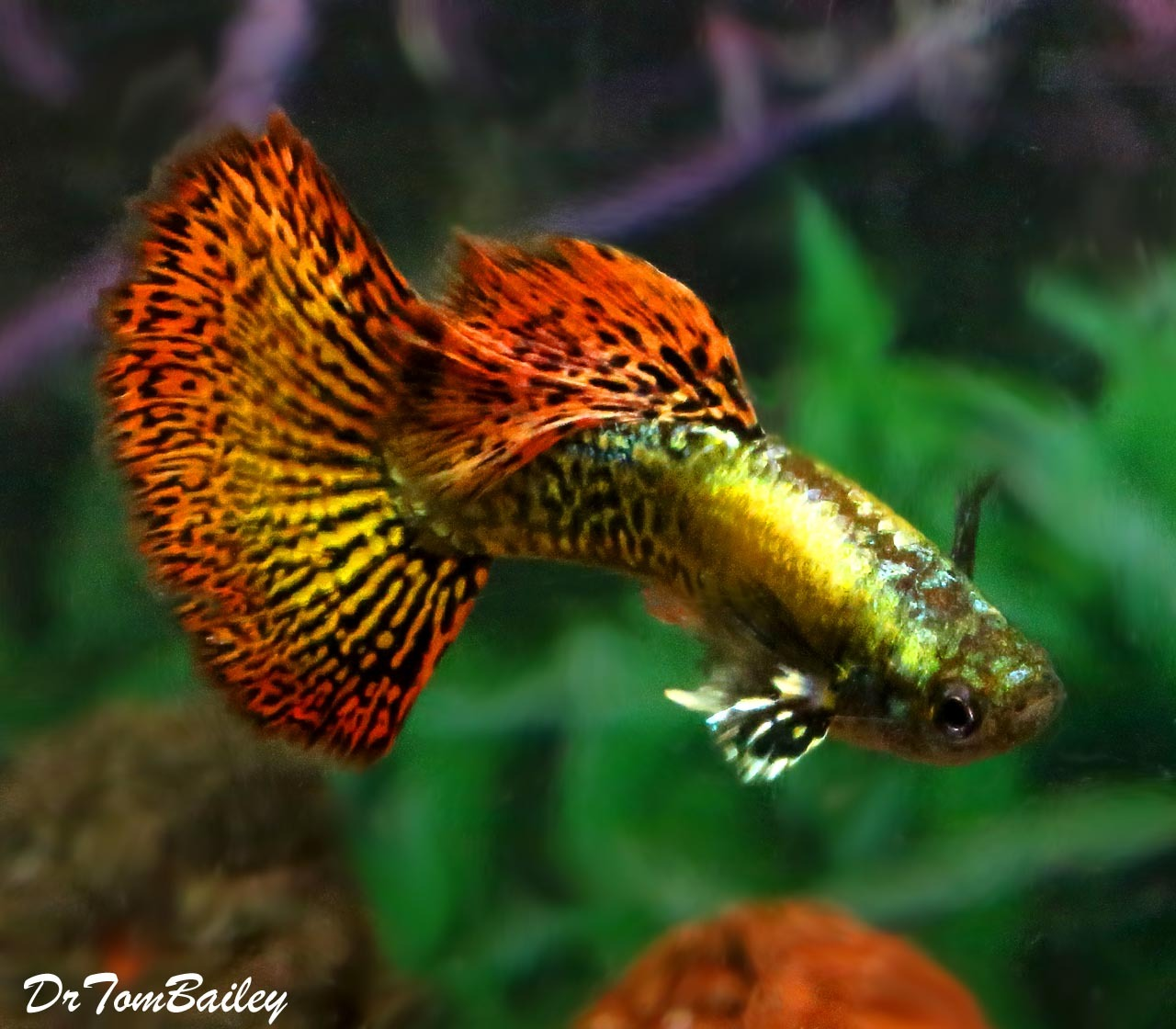 Premium Male New And Rare Dumbo Ear Red Dragon Fancy Guppy