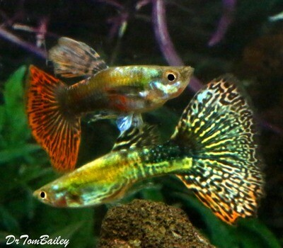 Premium MALE New and Rare, UniquePlus® Snakeskin Guppy