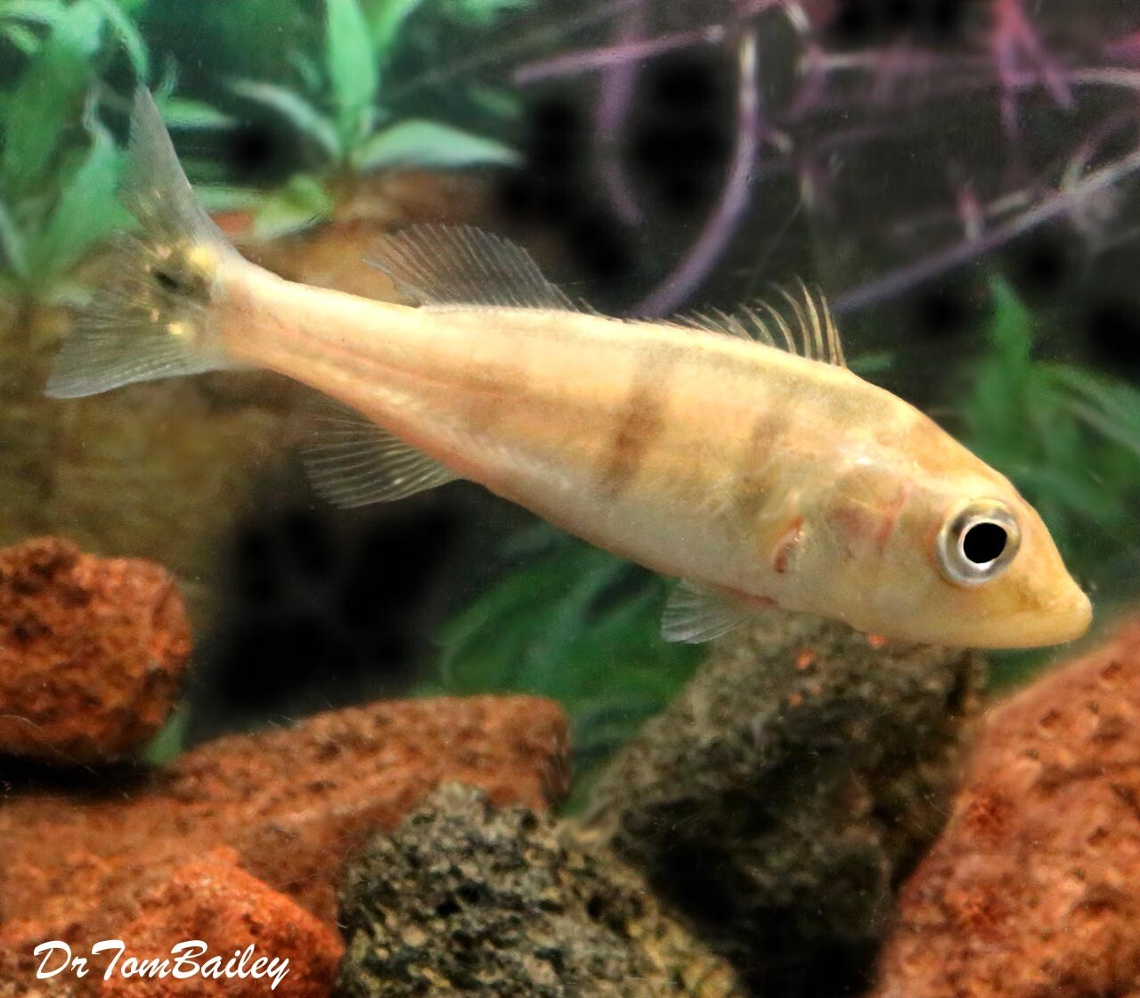 Premium New and Rare, Azul Peacock Bass Cichlid