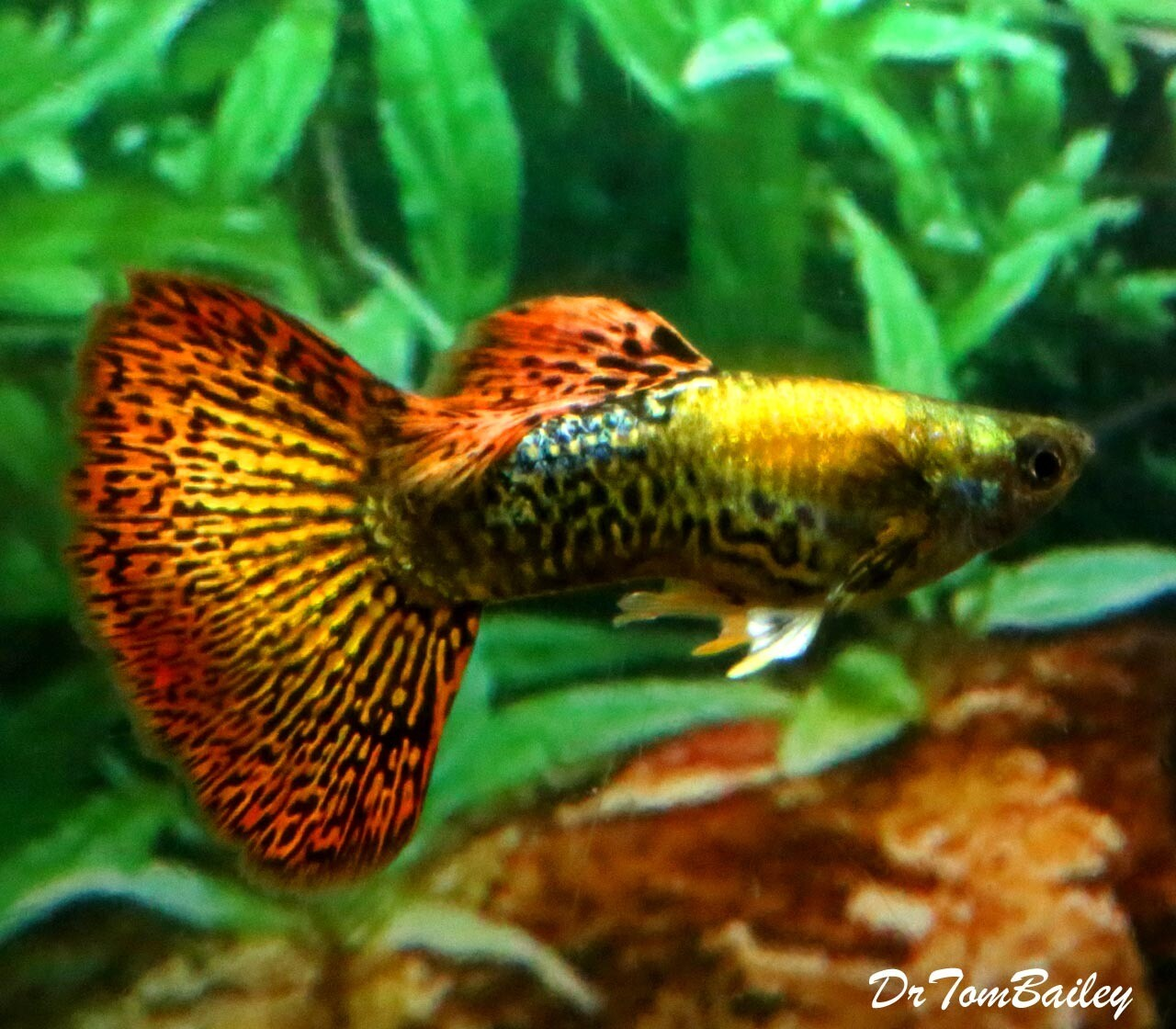 Premium MALE, New and Rare, Dumbo Ear, Red Dragon, Fancy Guppy