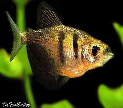 Premium Black Skirt Tetra, also called a Black Widow